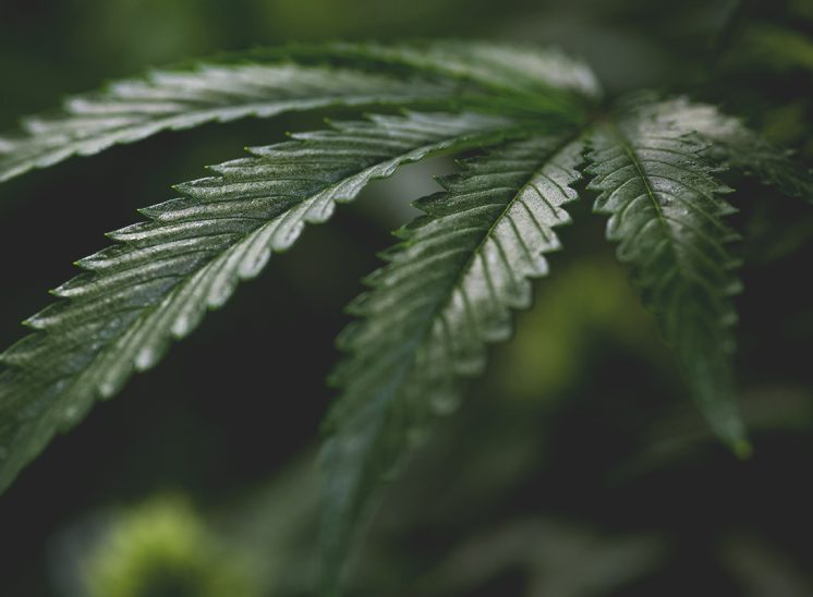 Cannabis Leaf Photography