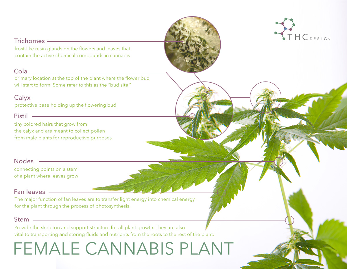 Breaking Down the Cannabis Plant - THC Design