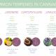 KCM THC Terpenes v2