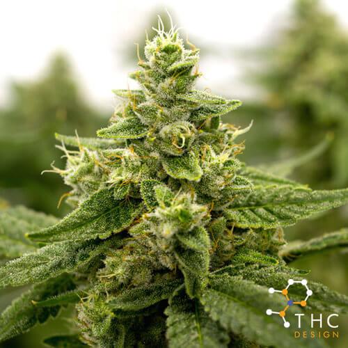 Cannabis Strains - THC Design -The Best Marijuana Cultivator