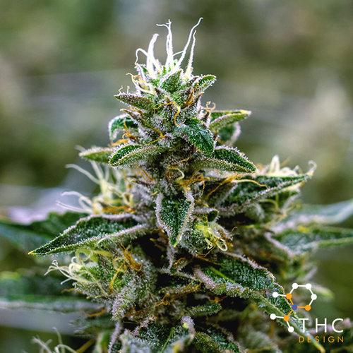 THCD_WEB_Strains_LavenderOG_Thumbnail