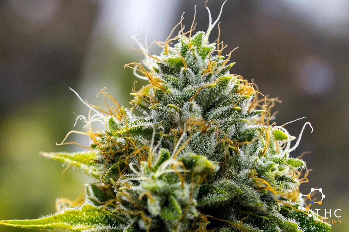 Contact US >> SKYWALKER OG - Cannabis Strains -THC Design Cannabis ...