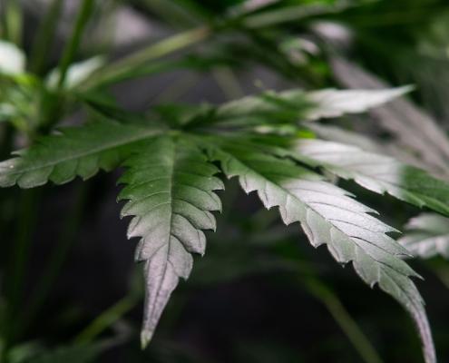 growing marijuana indoor. Grow Tent for Growing Cannabis