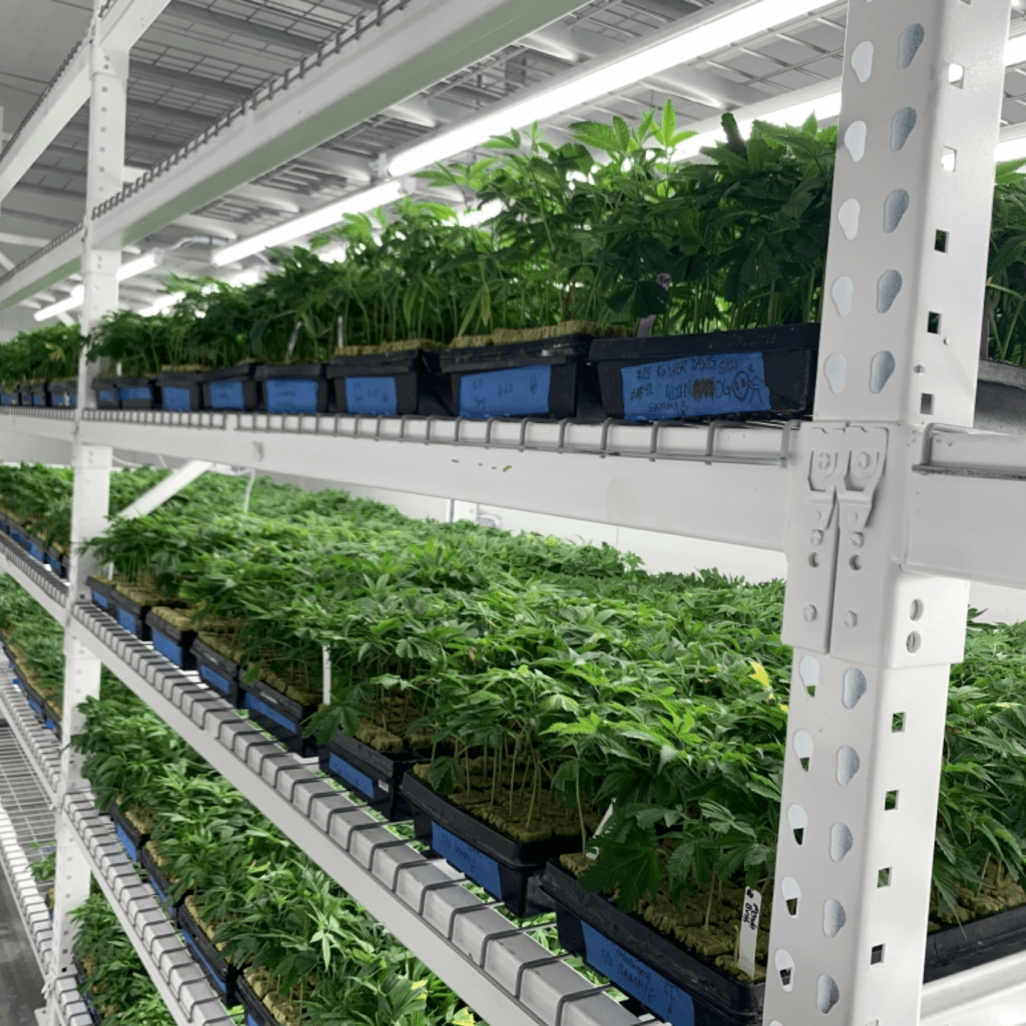 cannabis grow room