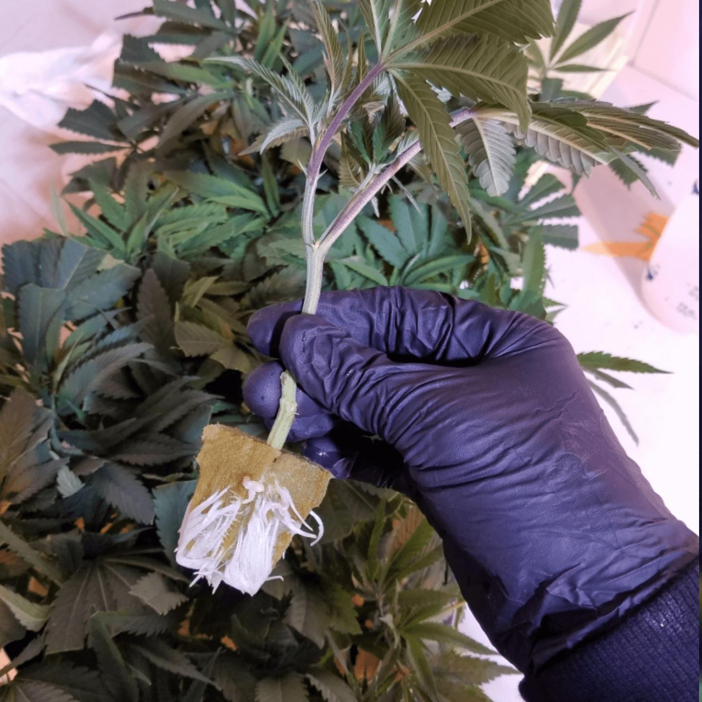 clone cannabis