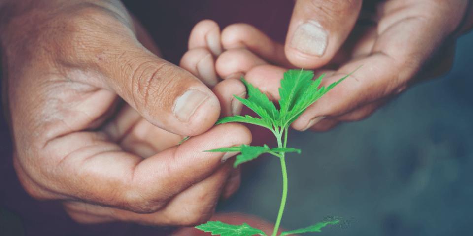 hand-holding-marijuana-leaf-cannabis-sativa-indica