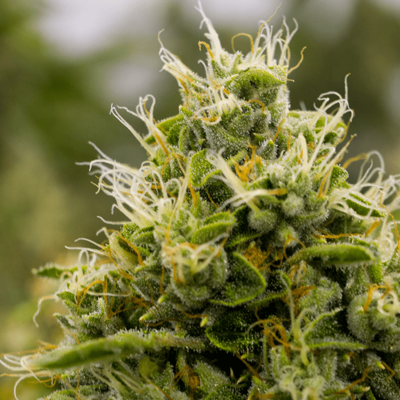indica-strains